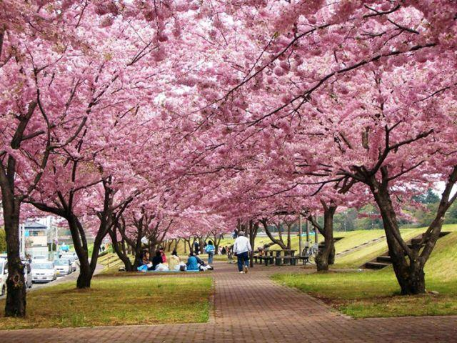 おやま二千本桜まつり