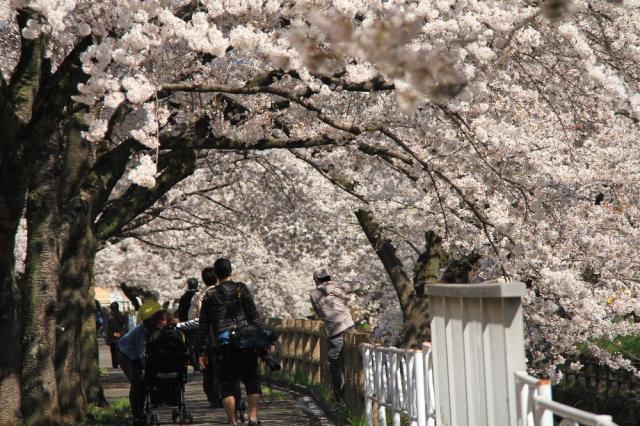 行屋川の桜