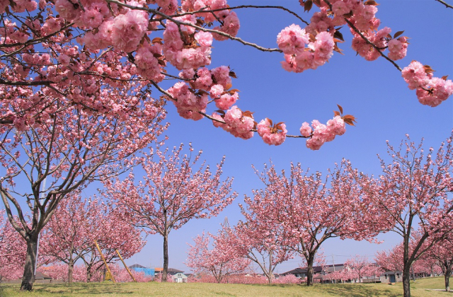 真岡の一万本桜まつり