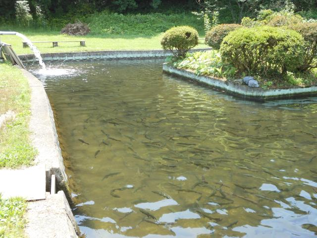金精川のます池