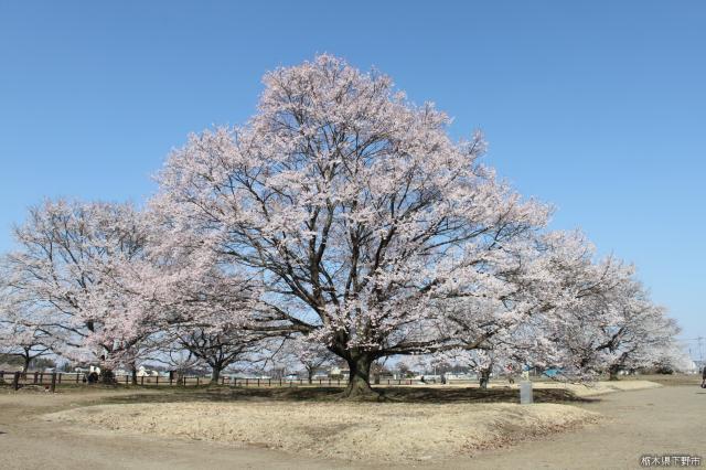 淡墨桜(天平の丘公園)