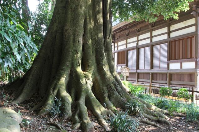 龍興寺のシラカシ