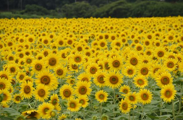 [2020 cancellation] Sunflower Festival
