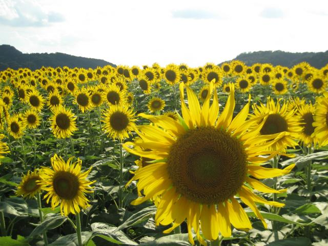 Season over Sunflower Festival
