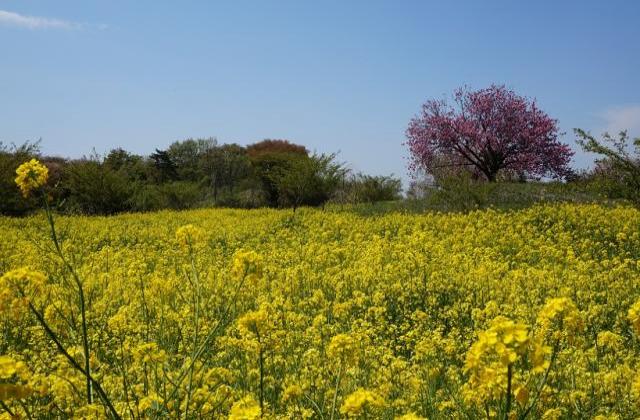 小宅古墳群の桜と菜の花