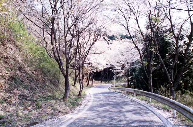 和の道の桜