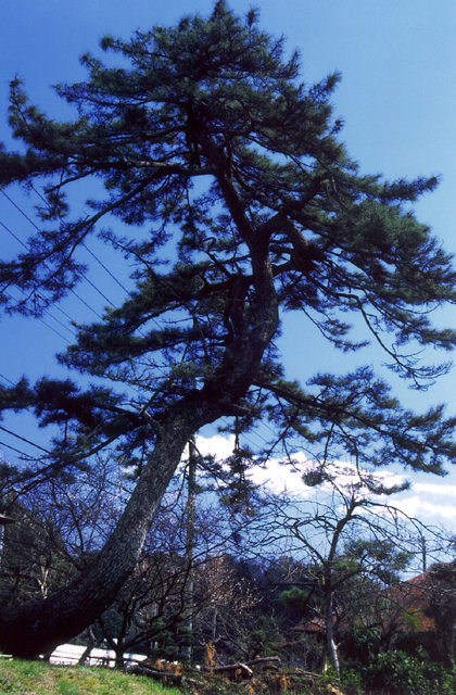 Black pine of Nagaoka Yakushi★09402ac2100115431