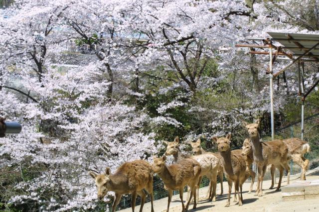 桐生が岡公園の桜