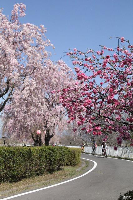 漆原しだれ桜並木
