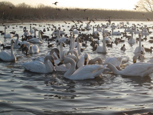 ガバ沼の白鳥
