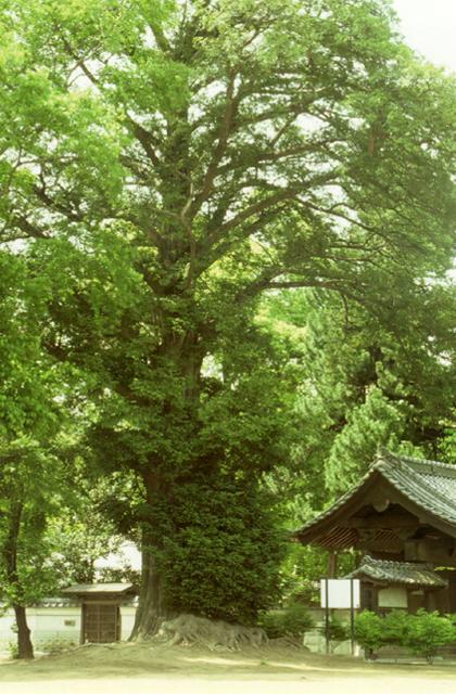 神光寺の大カヤ