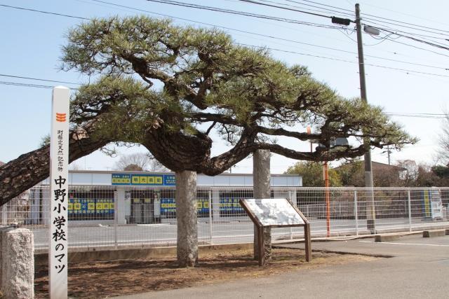 中野小学校のマツ