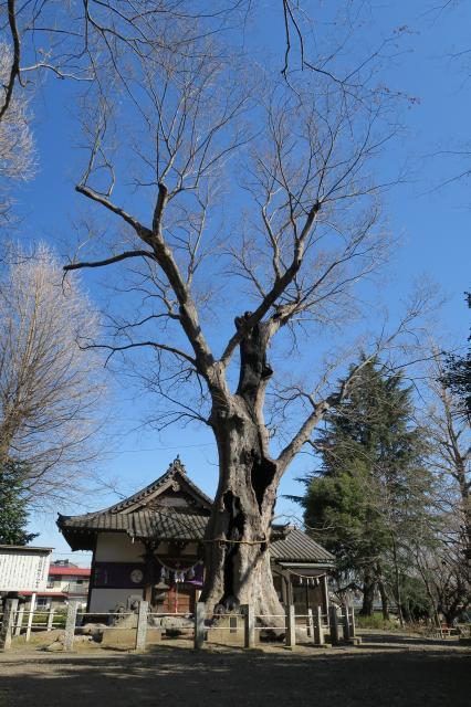 城山稲荷神社のケヤキ
