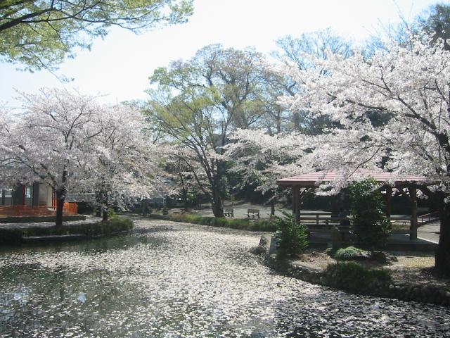 若泉公園櫻花節