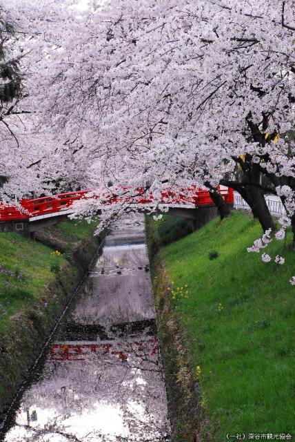 ふかや桜まつり