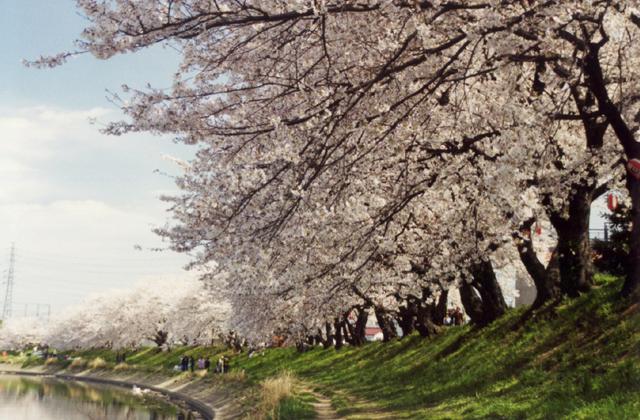 北越谷の桜