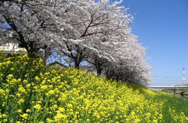 青毛堀の桜堤