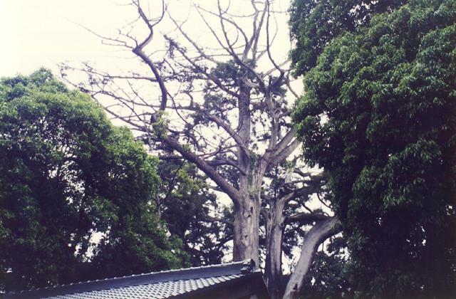 土屋神社神木杉
