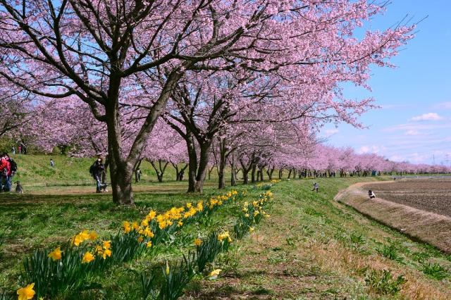 坂戸にっさい桜まつり