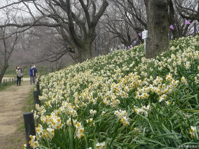 The ninth Satte Narcissus Festival