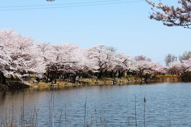 第34回鶴ヶ島桜まつり