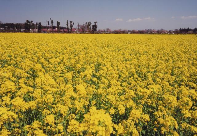 【2021年中止】高倉菜の花まつり