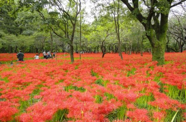 Kinchakuda red spider lily festival★11242ba2212081132