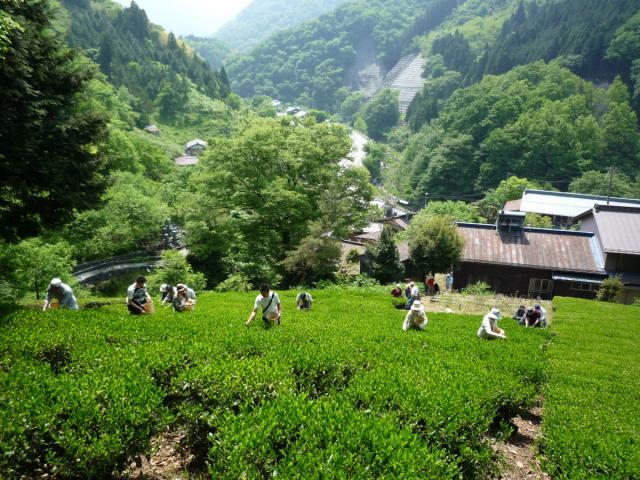 [在7/28召開、事情之前的申請]ashigakubono紅茶采茶經驗&茶工廠參觀