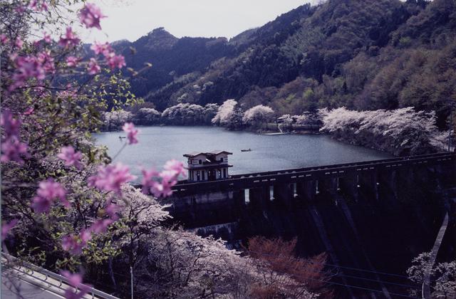 間瀬湖の桜