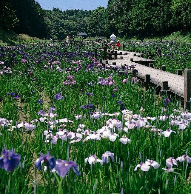 昭和の森の花菖蒲