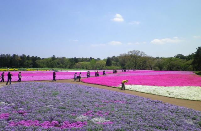 富田さとにわ耕園の芝桜