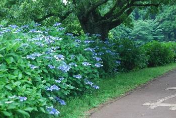 昭和の森のアジサイ