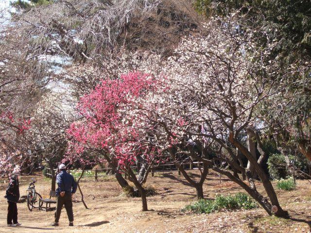 清水公園梅まつり