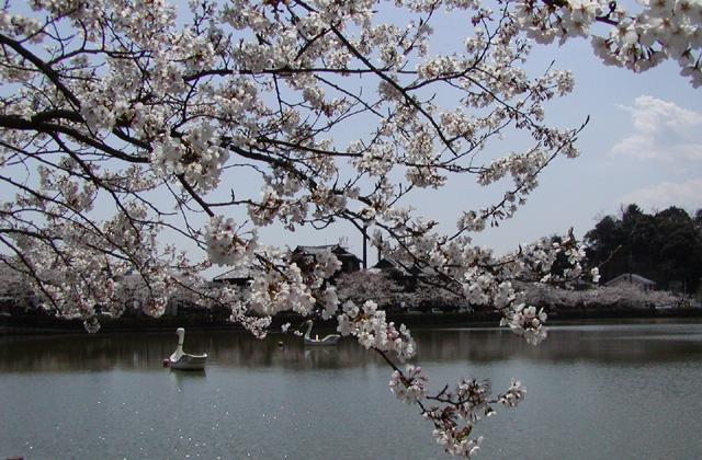 八鶴湖、岩川池の桜