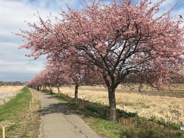 新川1000棵櫻花