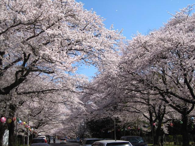 小林牧場の桜