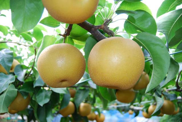 しろいの梨(日本梨)(白井市ふるさと産品)