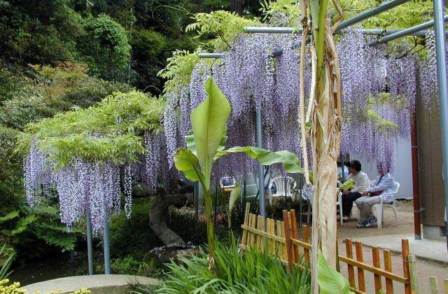 Wisteria of Kizumi | Must-see-japan Chiba (Japanese sightseeing ...