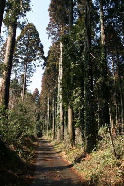 山武杉並樹