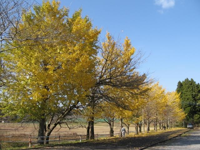 成排的銀杏樹