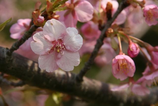 河津桜(小松交差点付近の木戸川ぞい)
