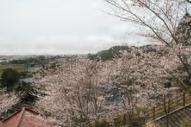 櫻花(淺間神社)