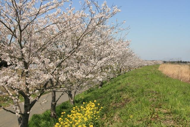 成排的櫻花樹(榮橋周圍)