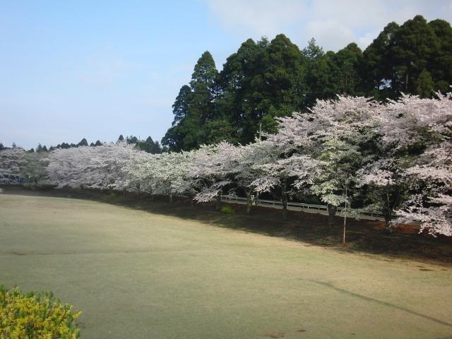 成排的櫻花樹(朝陽的地方的森野棒球場前方)