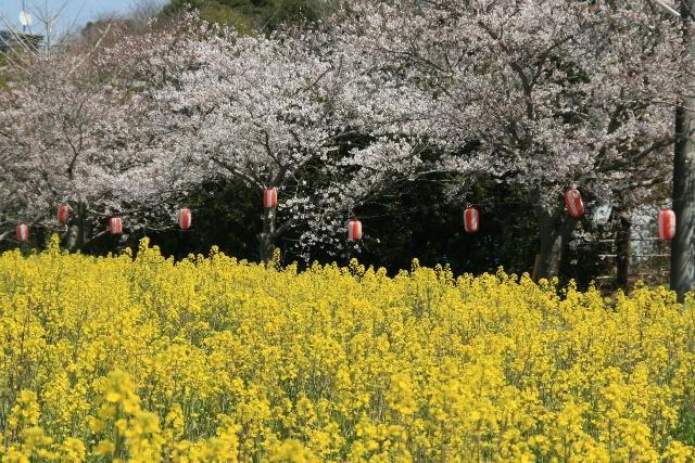 成排的櫻花樹(沿白幡地區水路)