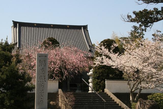 真光寺的櫻花