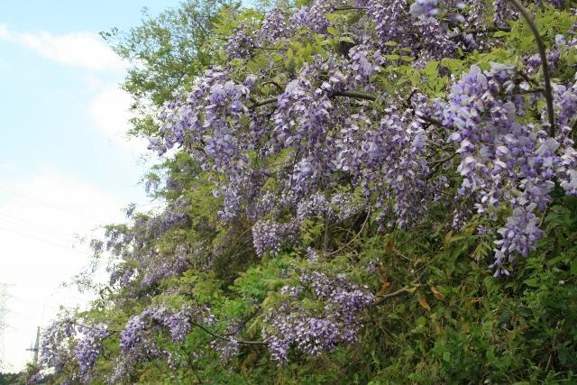 紫藤的花(山武成東IC附近的山斜面)
