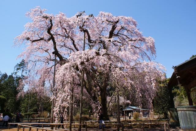 長光寺的低垂櫻花