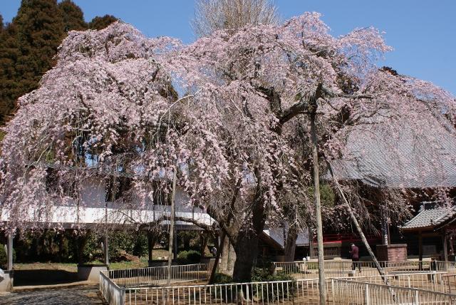 奇怪的宣寺的低垂櫻花
