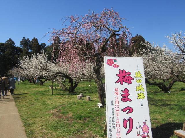 坂田城跡 天空の梅まつり